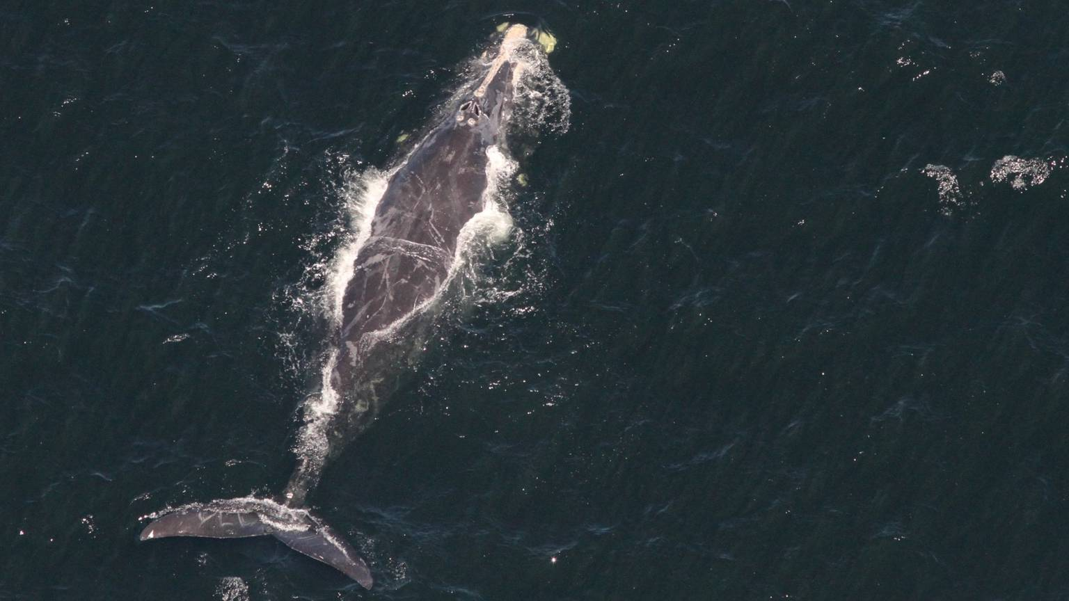 watching whales from above researchers race to stop more deaths