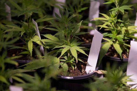 Pair of Canadian marijuana firms eye initial public offering
