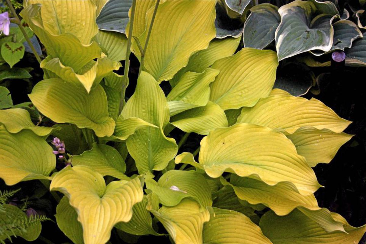 Plant Of The Week Hosta Sun Power The Globe And Mail