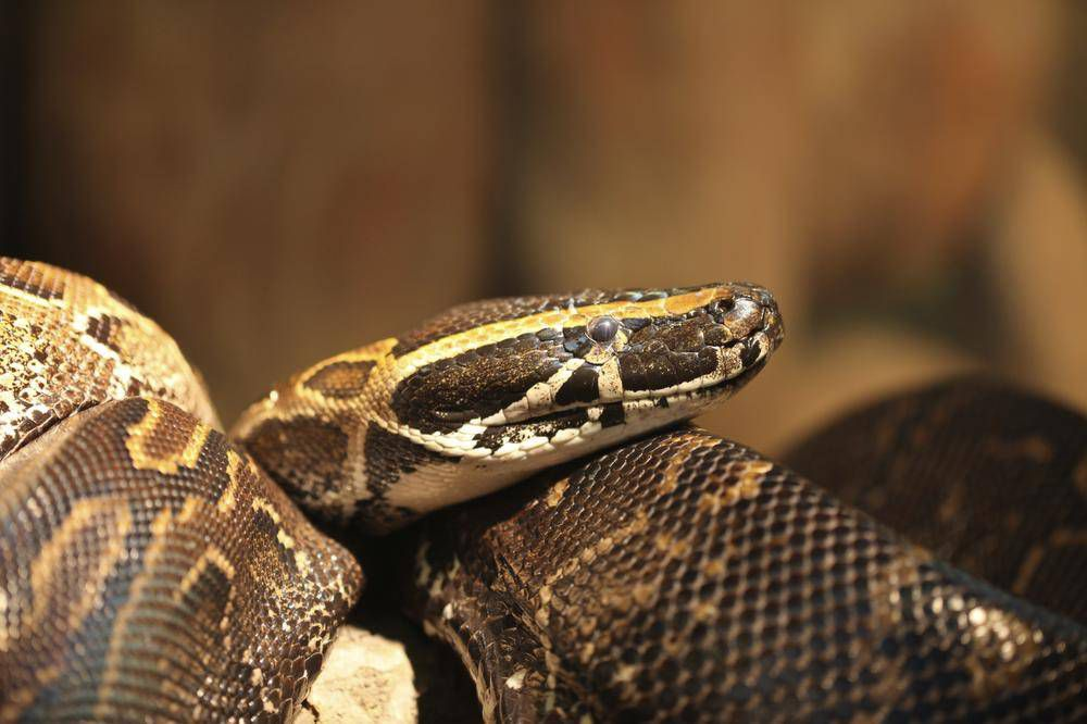 Pythons Are They Ever A Good Idea For A Pet The Globe And Mail