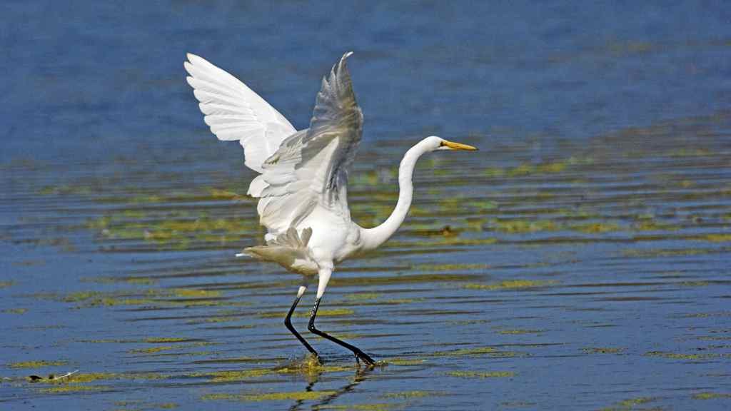 A great Egret touches down in Point Pelee National Park in Ontario.
