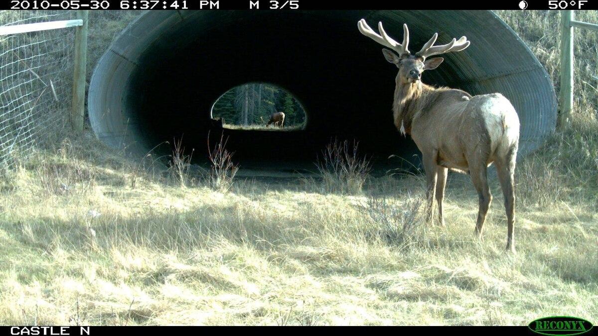 Elk at Castle underpass.