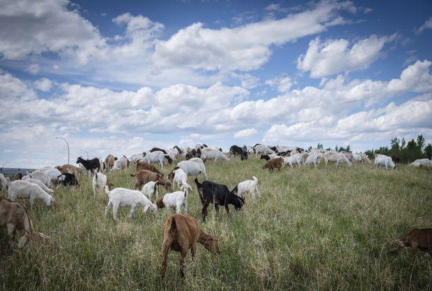 it s like having 100 toddlers herd of goats helps alberta cities