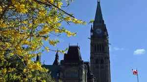 A forsythia bush flowers near Parliament Hill in Ottawa on May 11, 2011.