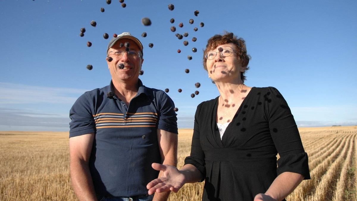 Ken and Sandra Purdy, shown at their farm near Keeler, Sask., on Sept. 14, 2011, are setting out to grow the world's next superfruit: Saskatoon Berries.