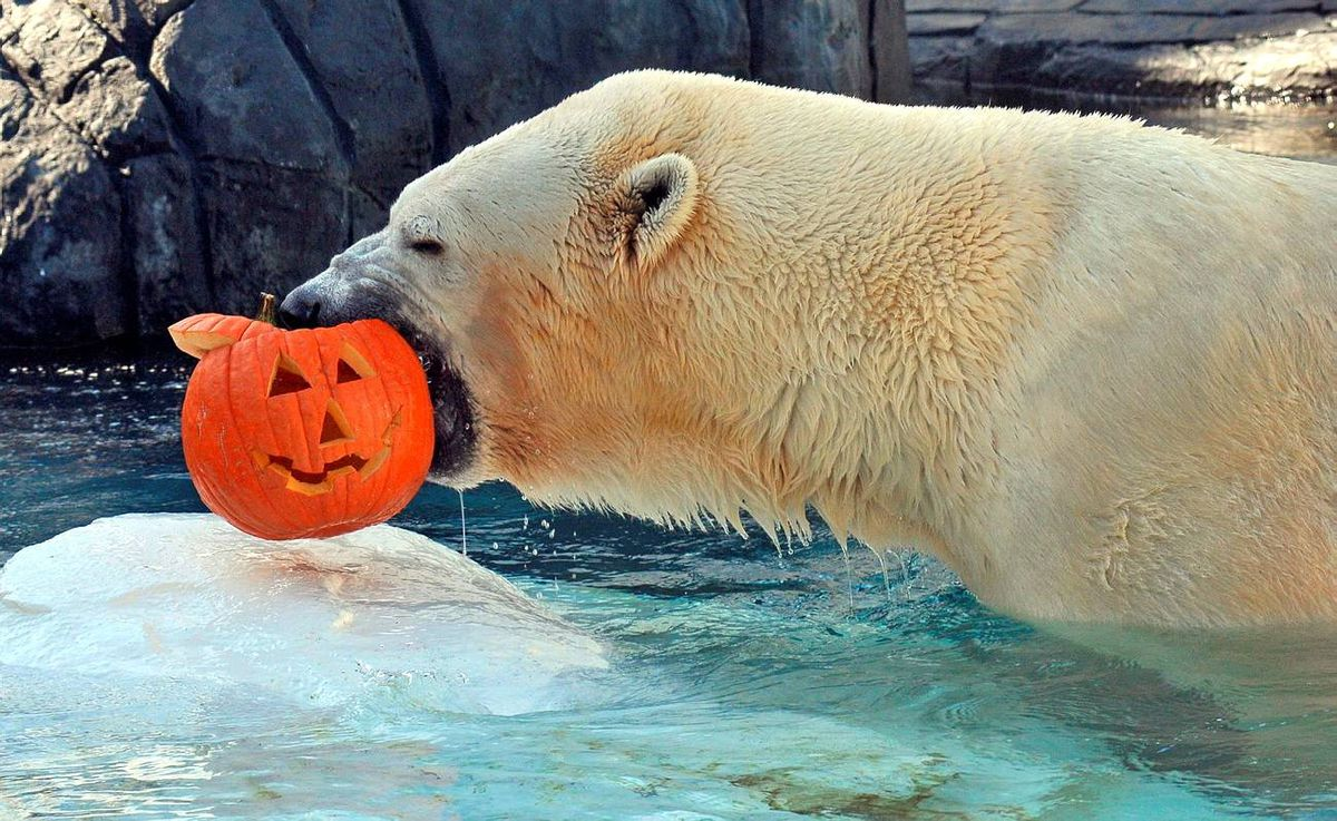Charly, a 1,150-pound polar bear, with a jack-o'-lantern at SeaWorld San Diego's Wild Arctic attraction. The 11 -foot bear shredded the pumpkin in seconds. Aside from a diet of meat and fish, keepers at Wild Arctic often treat the polar bears to apples, pears, carrots, romaine lettuce, yams, grapes, peanut butter, yogurt, watermelon and even cream cheese.
