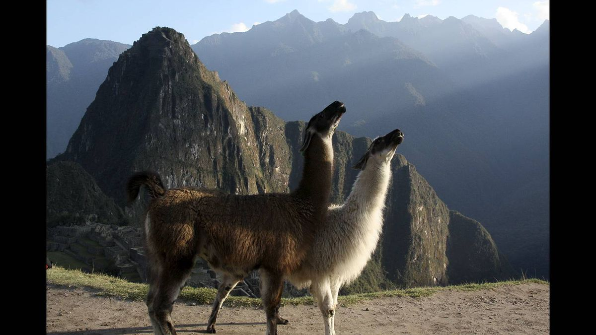 Jane Matthews photo: Morning glory at Machu Picchu - While waiting for the sun's first rays to shine down onto the sacred site of Machu Picchu in Sept. 2010, a pair of llamas bask in the warmth of the dawn of a new day.