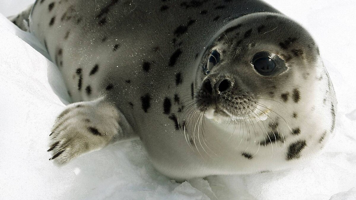 A young harp seal rests on the ice off the coast of Cape Breton, in Nova Scotia, on March 31, 2008.