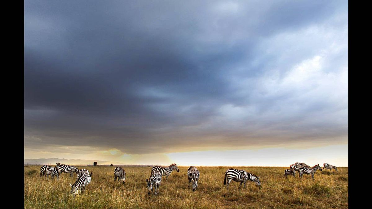 Zebras grace late in the day inside the Kenyan National Preserve in Nairobi on Sept. 10. The majority of travel I have done has been to areas of the world where grief and suffering are prominent. I have not taken advantage of my time in foreign places to enjoy some of the beauty often overlooked while working on other stories. My colleague, Geoffrey York, The Globe and Mail's Africa bureau chief, was determined to not let this be the case after we completed our work in Somalia, so he pretty much insisted that I take some time to enjoy a mini-safari with him before flying home. While it's very strange to take in a day like we had after experiencing a week in such a sad place as Mogadishu, I was very happy that Geoffrey took the time to arrange this outing. It was an opportunity to decompress somewhat before heading home, and it was a thrill to see some of the beauty that Africa has to offer. This image was taken late in the day as our driver rushed to get us out of the preserve before the gates were locked for the day.