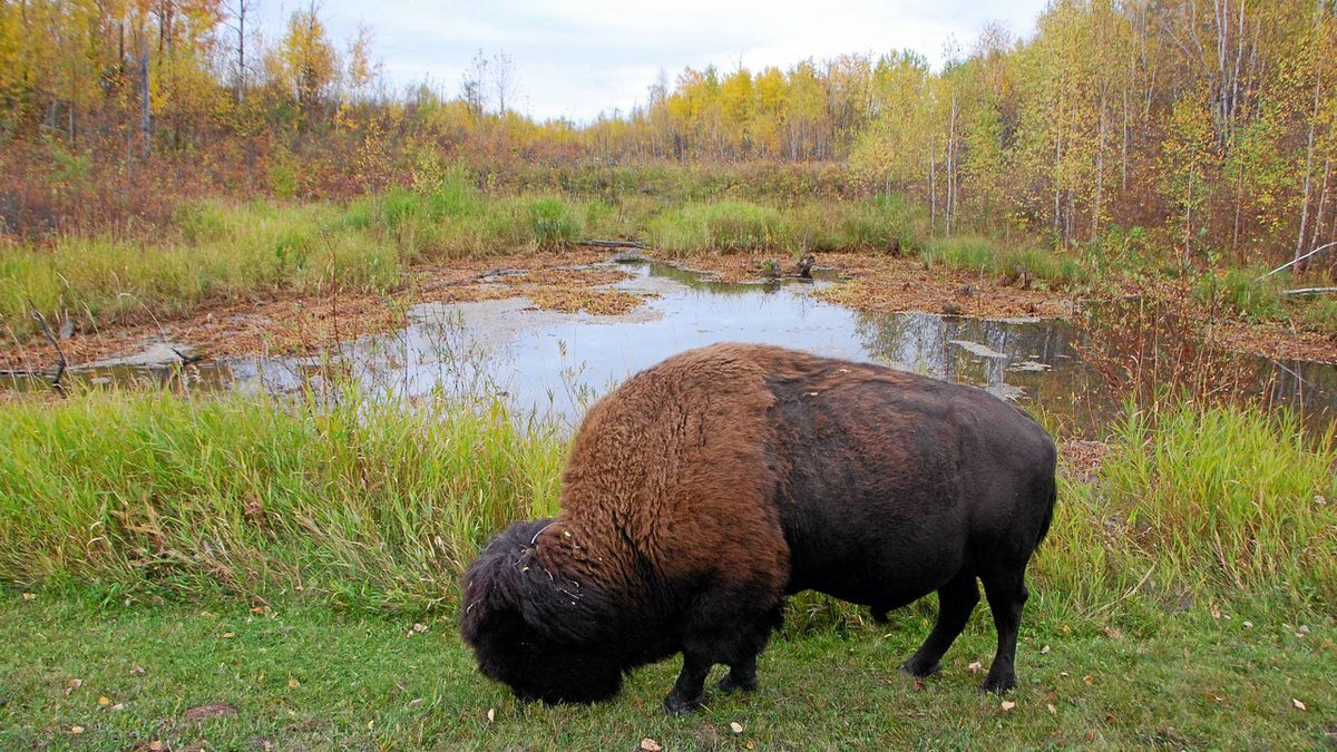 Bison appear out of nowhere in Elk Island National Park.