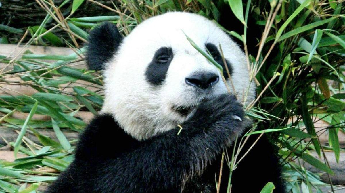 A giant panda at China's Chengdu Panda Base, in Sichuan province.