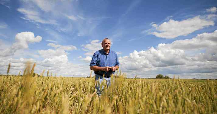 Allen Oberg, chair of Canadian Wheat Board walks through one of his wheat fields, near Forestburg, Alberta on Thursday, Aug. 19, 2011.