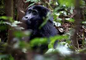 A mountain gorilla is seen during a census inside Bwindi Impenetrable National Park, about 550 km west of Uganda's capital Kampala.