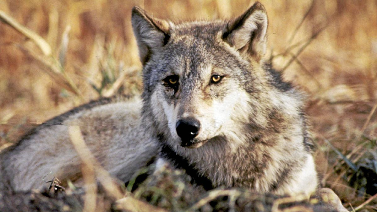 Gray wolves have thrived in the West since their reintroduction into Yellowstone National Park.