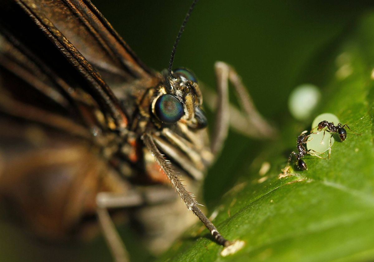 A morpho peleides butterfly lays its eggs, while two ants surround one, in Butterfly Garden in La Guacima, northwest of San Jose, May 14, 2012.