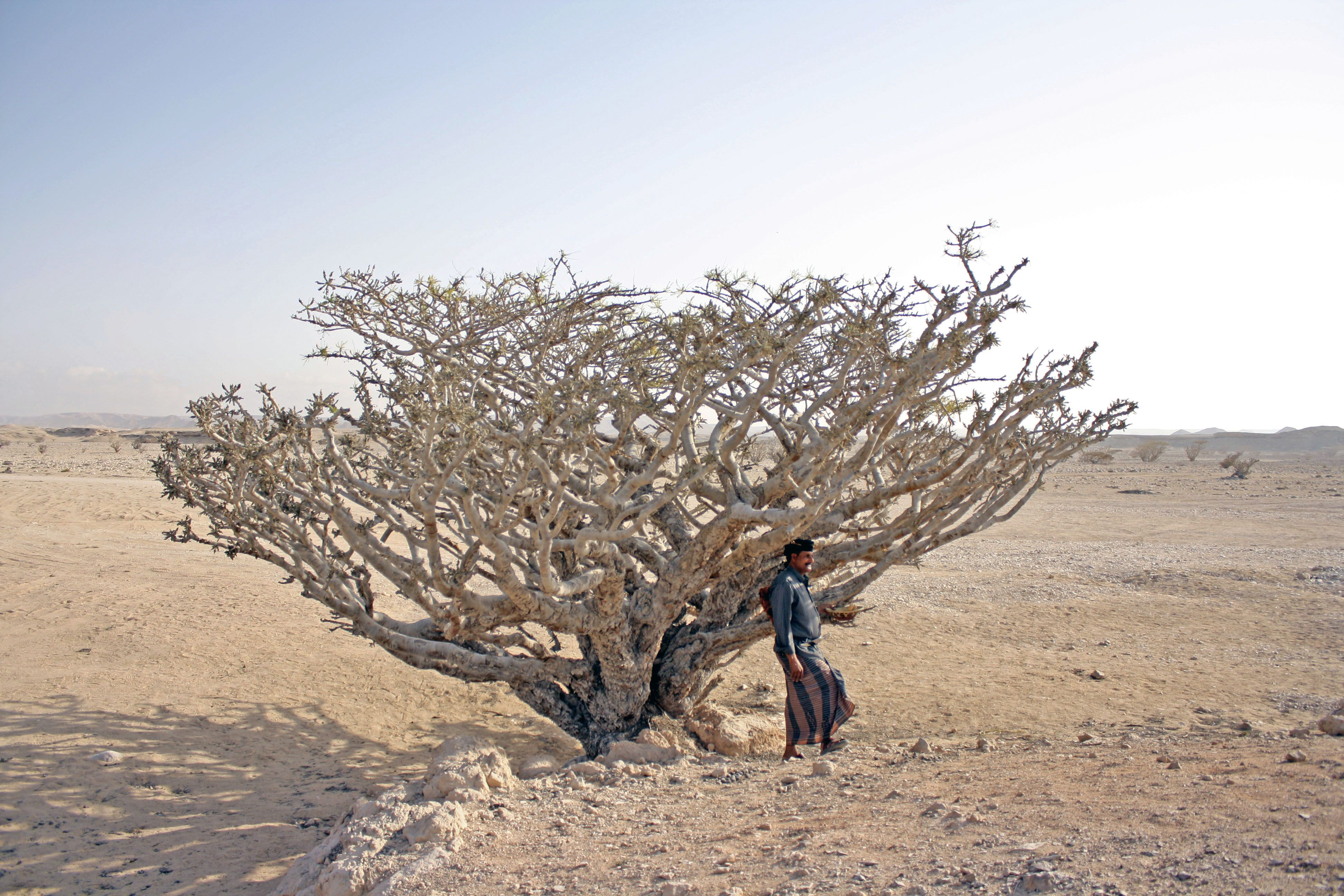 Frankincense Oman S White Gold Loses Its Lustre In A