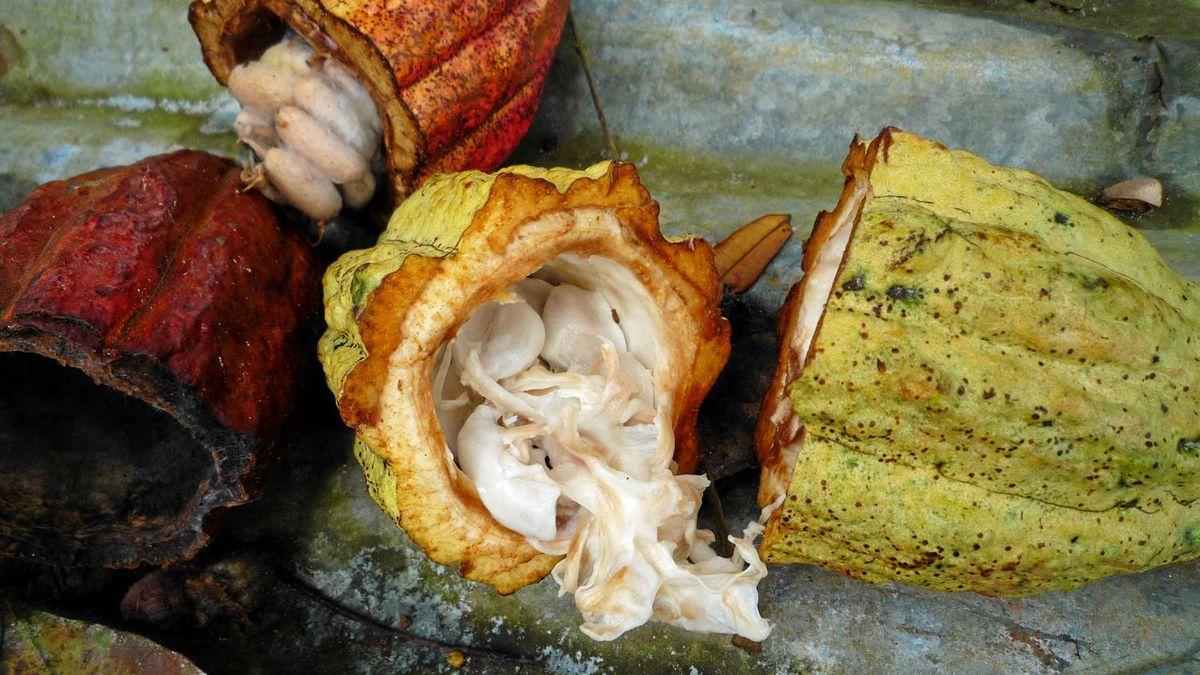 A split open cocoa pod reveals the raw cocoa beans inside. The Grenada Chocolate Company turns organic cocoa beans into delicious chocolate bars and cocoa powder.