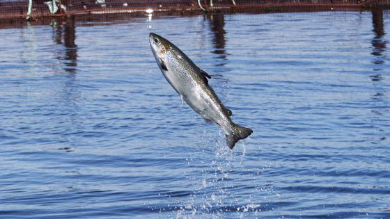Atlantic Salmon Federation pushes for thorough review of Newfoundland fish-farming expansion