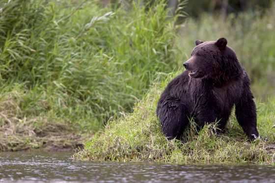Video shows two grizzly bears fighting on a B.C. highway