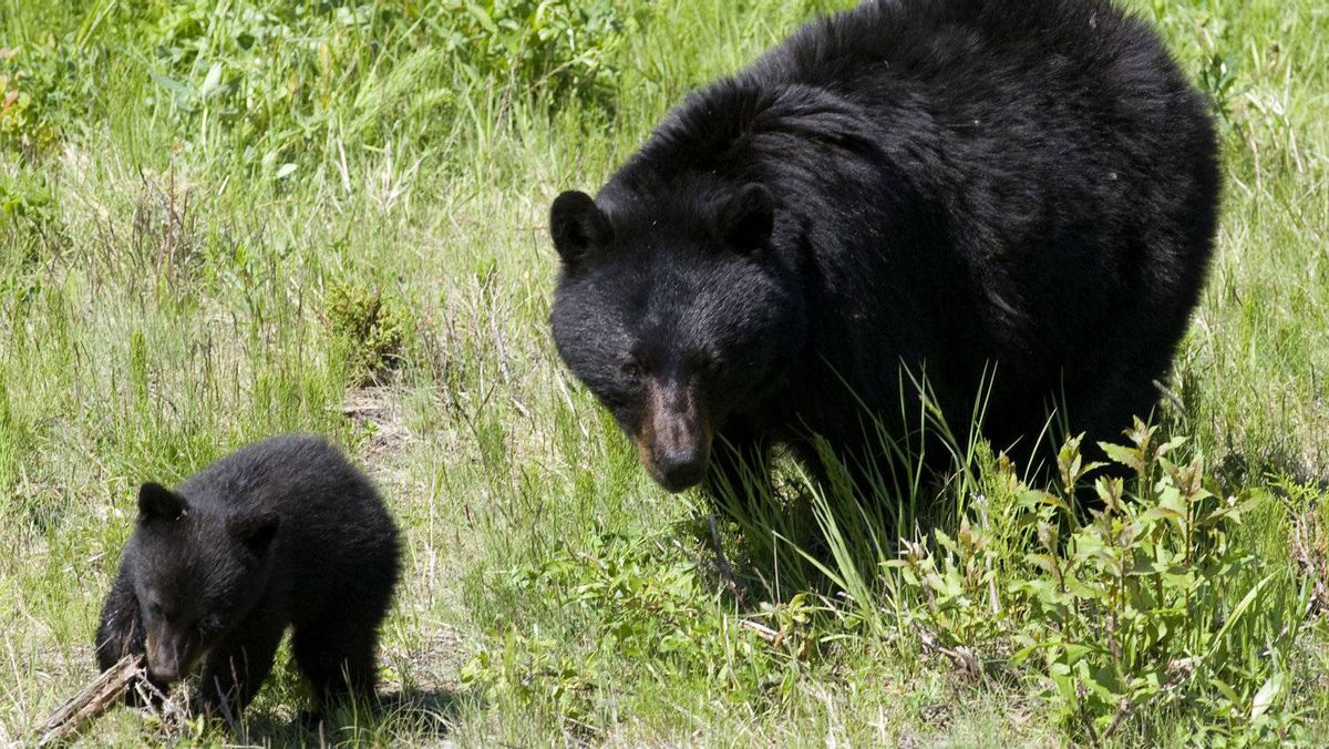 A black bear and her cub walk through the grass on a ski run on Blackcomb mountain in Whistler, B.C., Friday June 26, 2009.