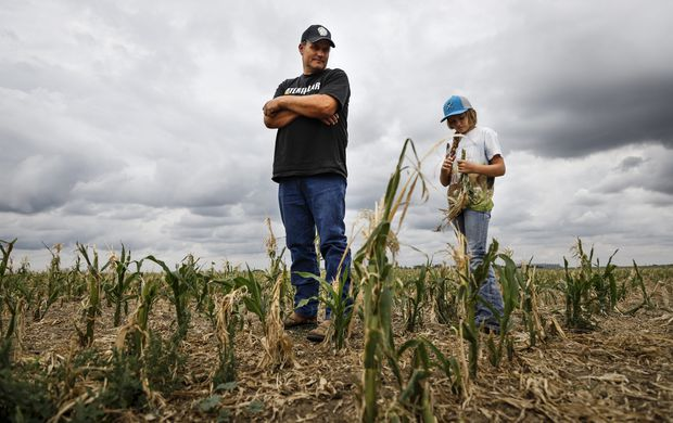 A 'lot of sad people' in the corn capital of Canada after hailstorm wipes out cult favourite crop