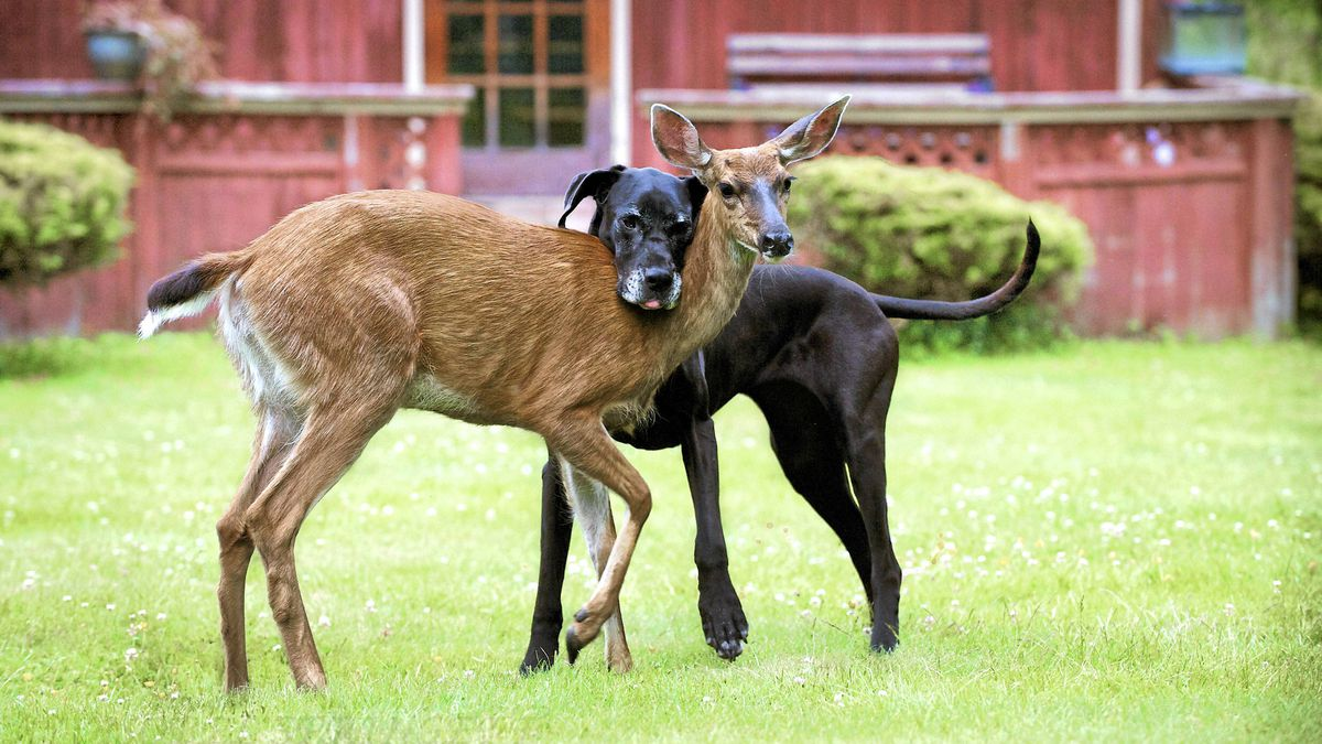 Kate the Great Dane is raising orphan fawn Pippin in a Comox Valley woman's backyard.