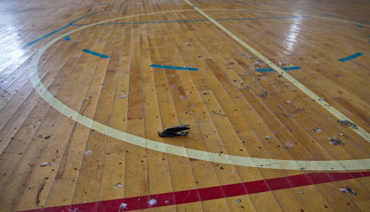 A dead bird rests on a school gymnasium floor in the abandoned town of Namie,inside the 20-kilometer exclusion zone around the Fukushima Daiichi nuclear plant July 8, 2011. A year after the Tsunami, cleanup has begun, but experts say areas inside the nuclear exclusion zone will be difficult to decontaminate.