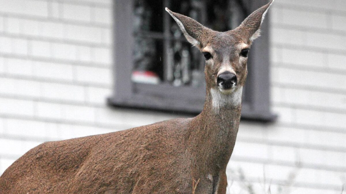 A female black tailed deer is spotted grazing on the grouds of Government House in Victoria, BC.