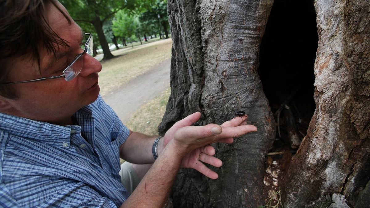 Philip van Wassenaer, an Arborist with Urban Forest Innovations Inc. talks about the beetle he found in the heritage tree, a 150-200 year old Red Oak tree at Queen's Park in Toronto.