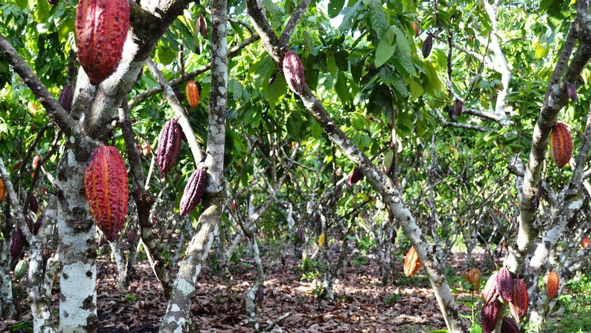 A cocoa farm is shown in Northern Peru. La Siembra sources the cocoa for its Camino line of chocolate bars from seven co-ops in Peru, the Dominican Republic and Panama; the sugar is sourced from co-ops in Peru and Paraguay and the vanilla comes from co-ops in Madagascar.