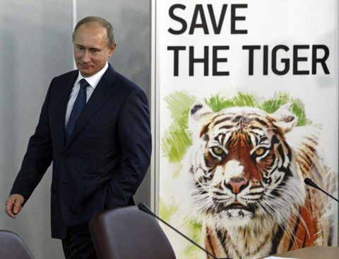 Siberian tiger released by Putin strays into China – and possible danger