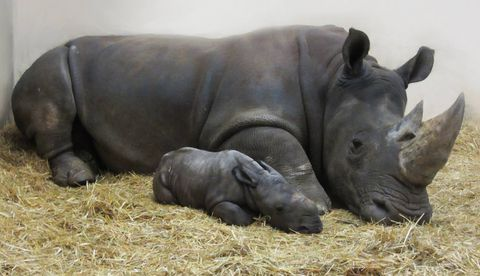 White rhino calf born at Toronto Zoo