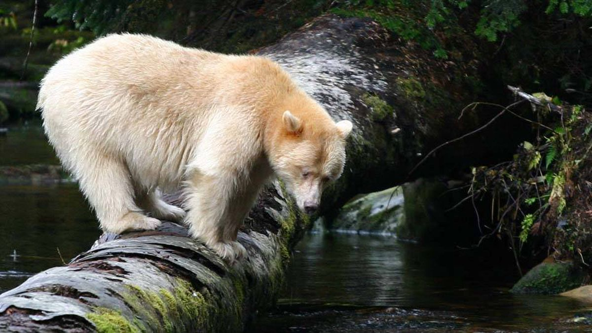 One in ten black bears carry a recessive gene that gives their cubs white fur.