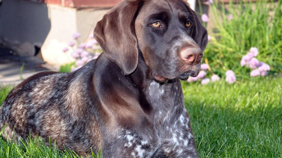"From Michael Gamble in Oakville, Ontario: My dog Juno is one-year-old German short-haired pointer and epitomizes the saying ""dogs are what unconditional love is all about""..."