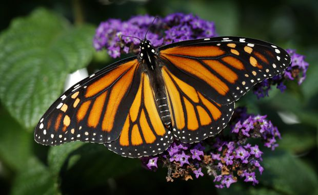 Monarch butterflies making a big comeback after being decimated in recent years
