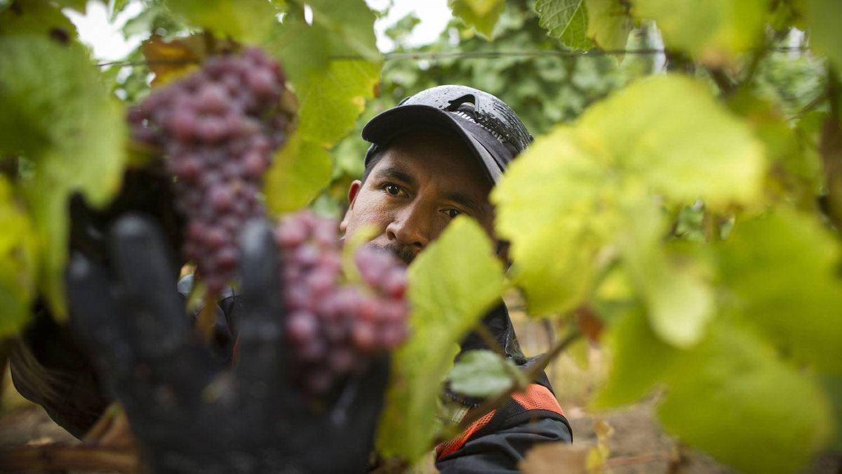 Mexican Migrant worker Eliseo Sebastian Garrido picks gewürztraminer grapes at the Hidden Terrace vineyard in Okanagan, B.C., Oct. 3, 2011.