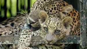 Leopards