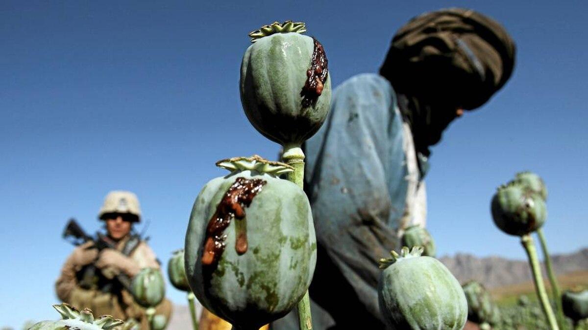 Afghan men harvest opium in a poppy field in Farah province.