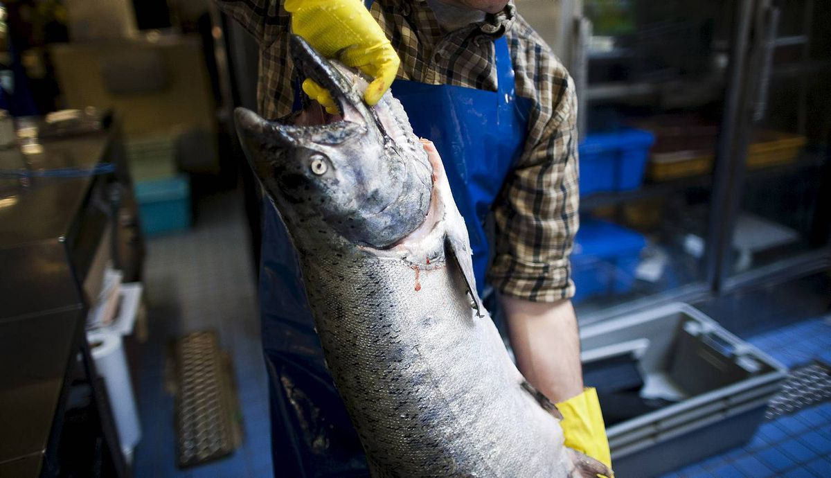 Zachary Kuefler-Nevin carries a 22lbs Spring Salmon to place on ice at The Salmon Shop on Granville Island in Vancouver, British Columbia, Saturday, April 14, 2012. Rafal Gerszak for The Globe and Mail