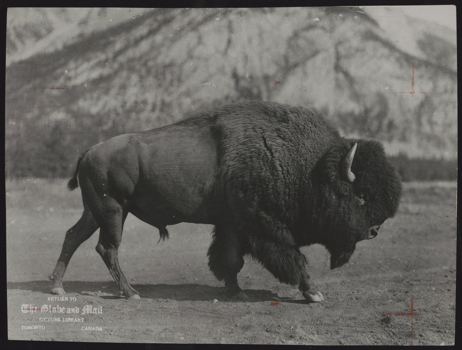 BUFFALO No 2515. Buffalo at Banff, Alberta. Canada's largest national park now holds world's largest buffalo herd.