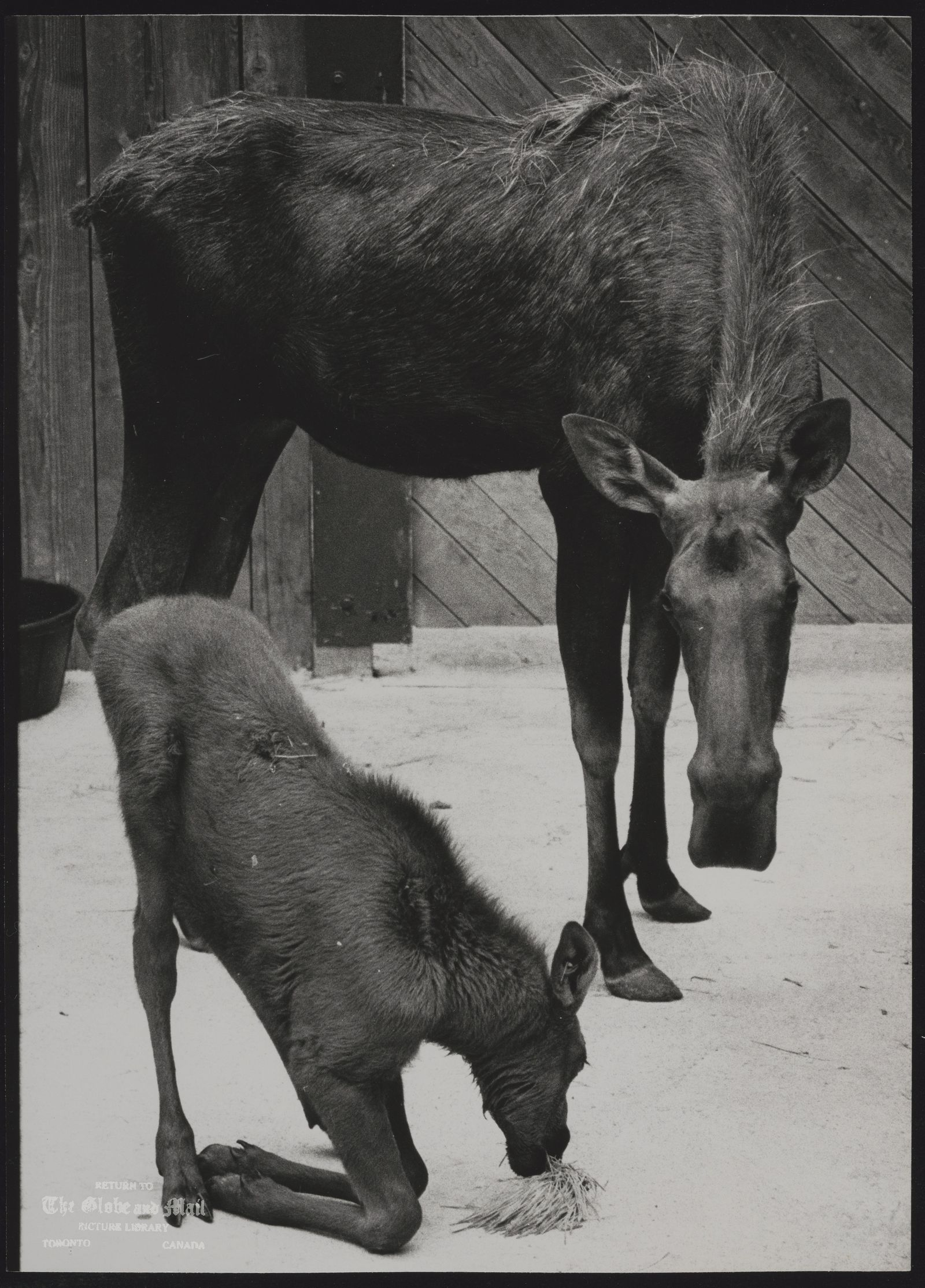 MOOSE Bullwinkle, born May 31, 1979 at Metro Toronto Zoo, with his mother Noisy.