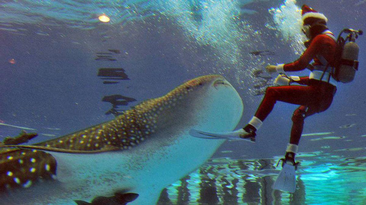Santa feeds a five-meter long whale shark named Hachibei at the Hakkeijima Sea Paradise aquarium in Yokohama, suburban Tokyo.