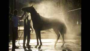 A racing horse is hosed down after an early morning ride at Hastings race track in Vancouver Aug. 24, 2011.