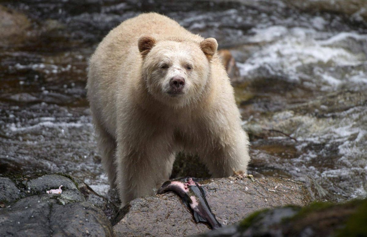 Are There Grizzly Bears On Vancouver Island