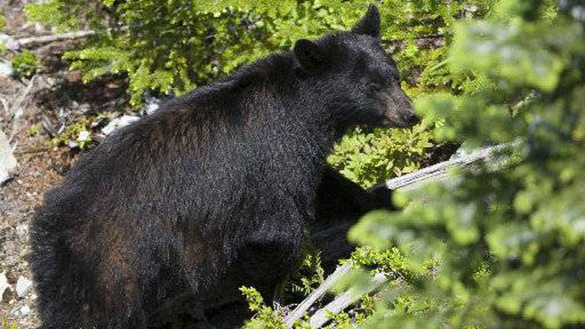 A black bear like this one that has been feasting on human remains it found on a remote road south of Kamloops, B.C., is now the target of conservation officers.