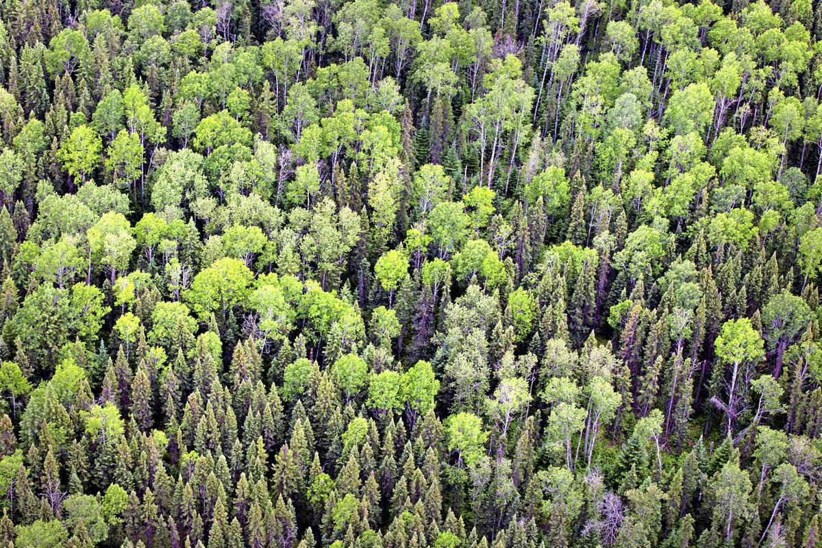 Could this forest yield airplane fuel and plastics?