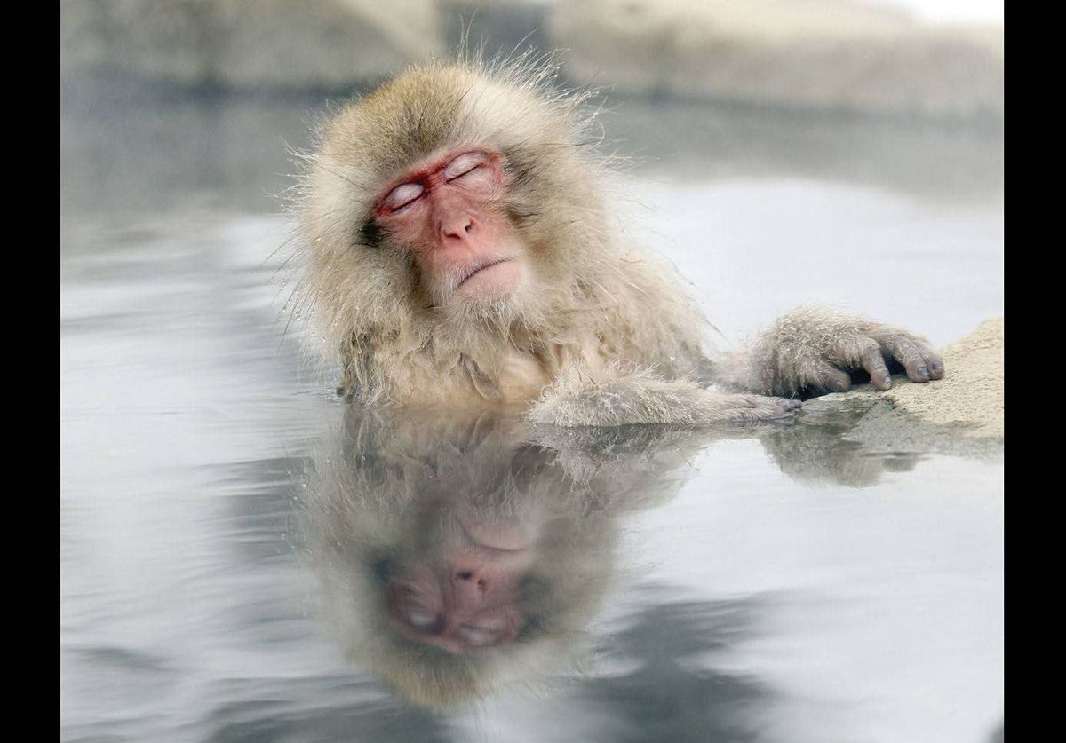 A Japanese snow monkey relaxes in a hot spring in the Jigokudani valley in northern Nagano Prefecture, Japan.