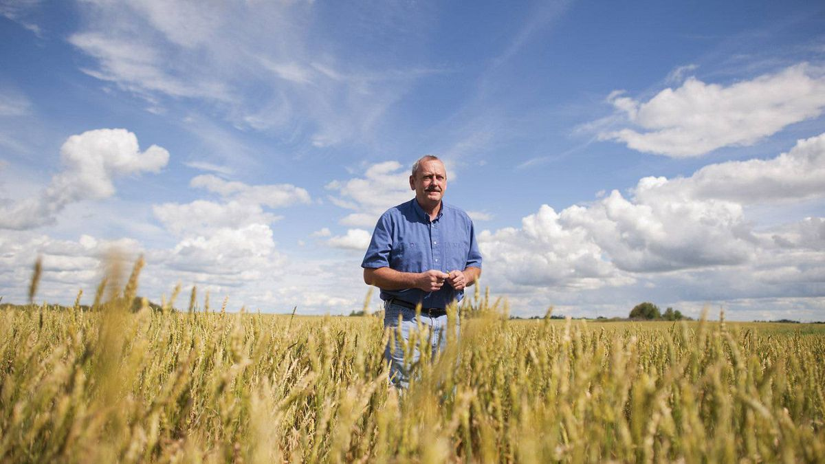 Allen Oberg, chair of Canadian Wheat Board walks through one of his wheat fields, near Forestburg, Alberta on Aug. 19, 2011.