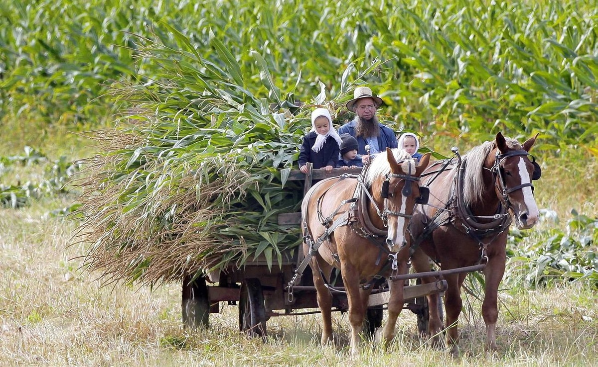 An Amish farmer and three children bring in a cart full of harvested corn stalks at a farm in Middlefield, Ohio on Thursday, Oct. 8, 2009.