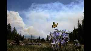 A butterfly hovers over a flower as smoke rises around the Lee Valley Recreational area in the Apache National Forest during back burn operations as the Wallow Fire continues to burn June 12, 2011 in Big Lake, Arizona.